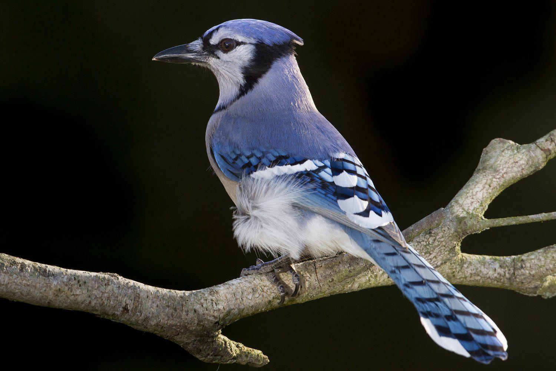 Blue Jay Cyanocitta Cristata