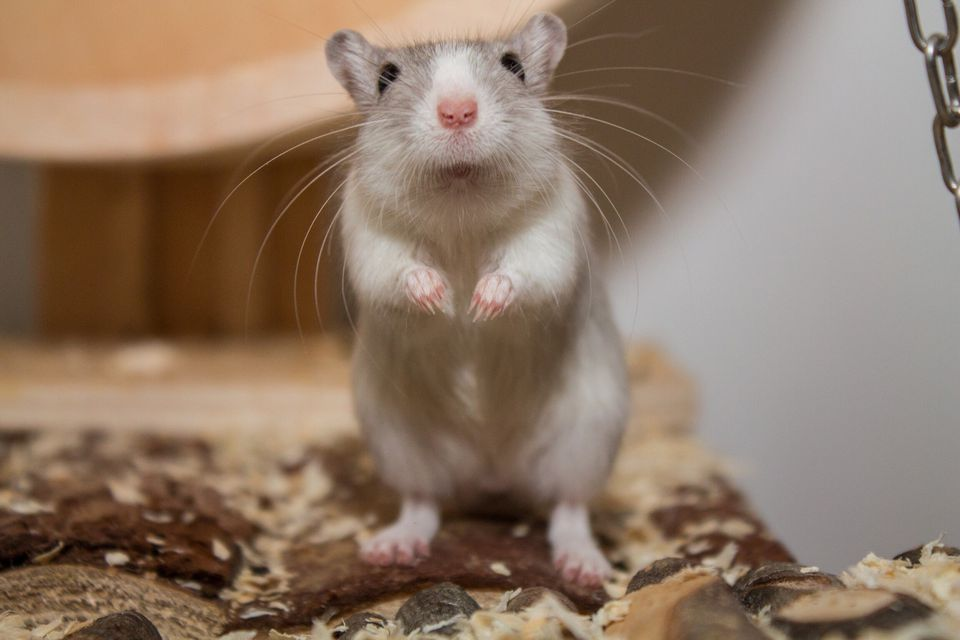 Close-Up Of Gerbil On Wood