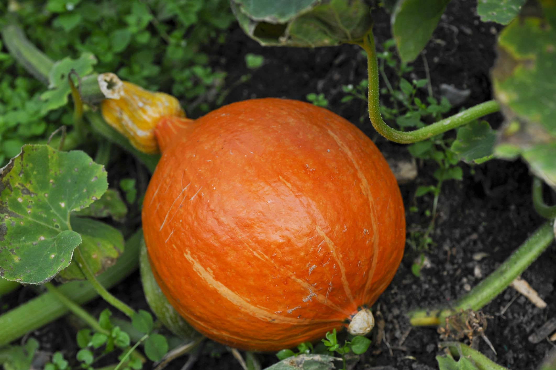 how to grow your own organic pumpkins