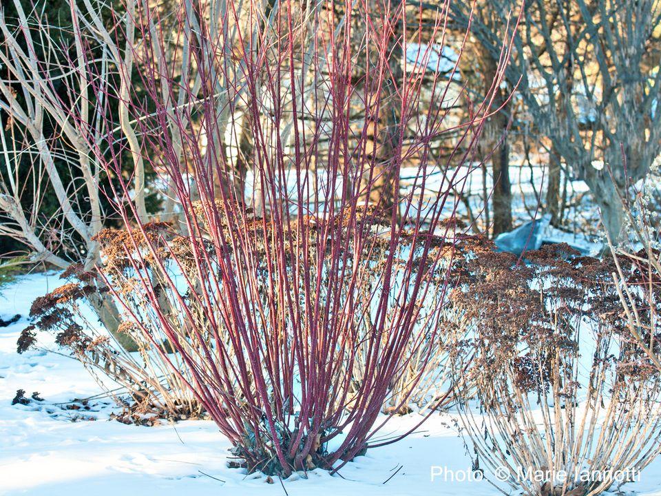Red-Twig-Dogwood2.jpg