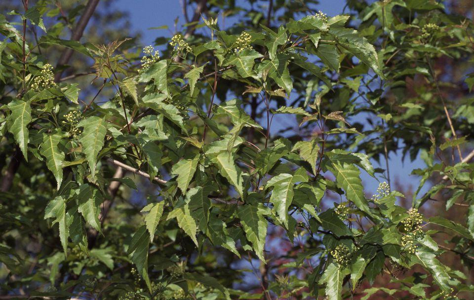Amur Maple leaves (Acer ginnala), Aceraceae-Sapindaceae