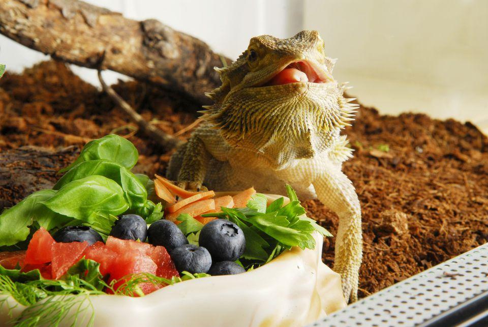 Central Bearded Dragon (Pogona vitticeps) eating fruits