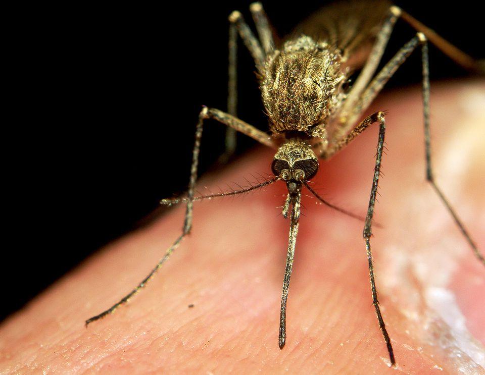 mosquitobkaree1flickr.jpg