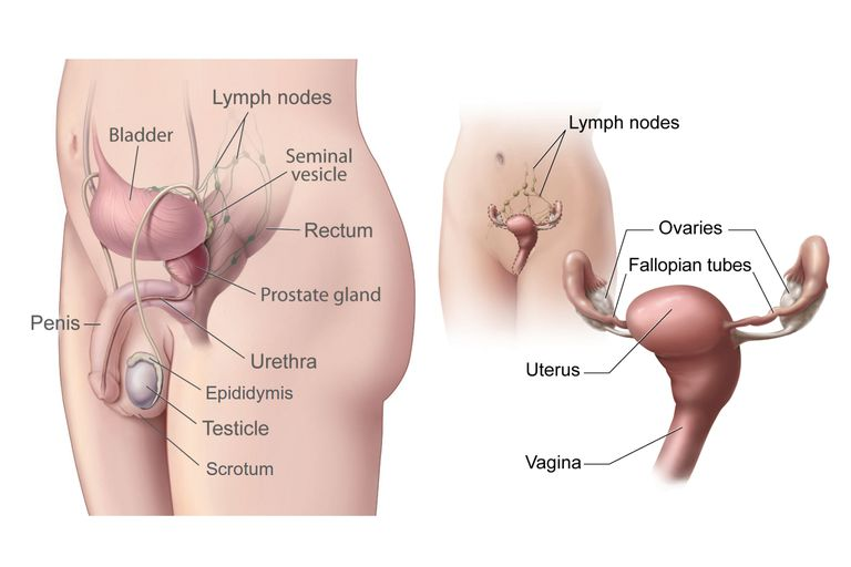 Male And Female Gonads Testes And Ovaries