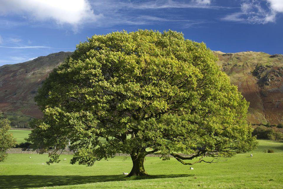 English Oak Tree, Quercus robur