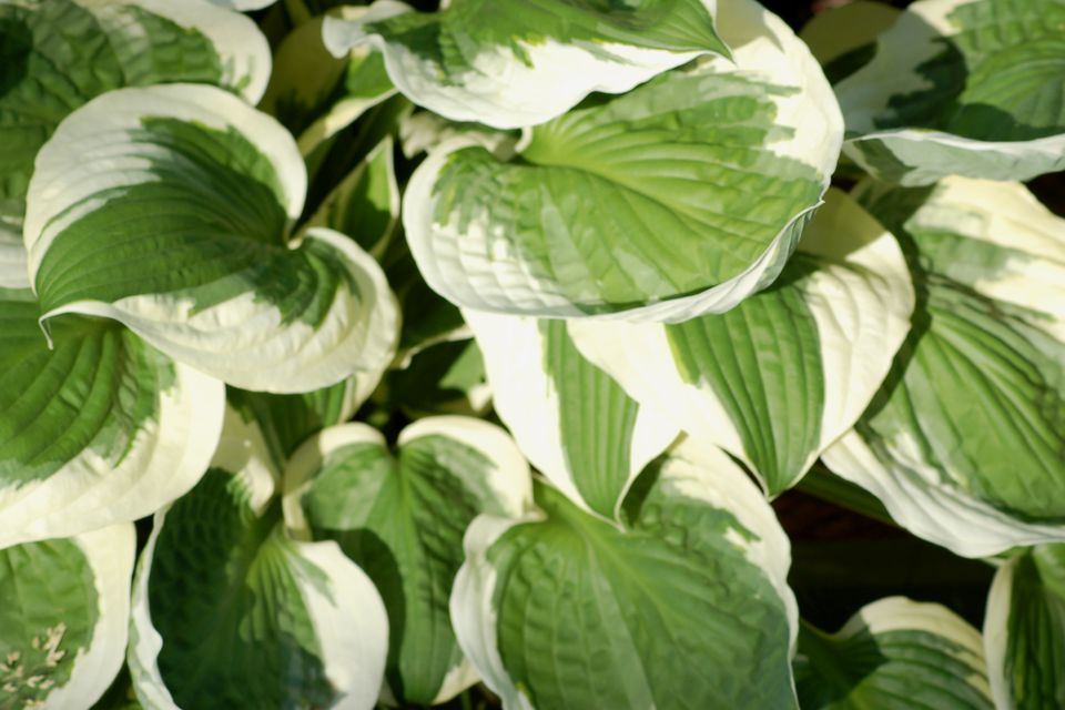 A picture of Patriot hosta shows its white margin. Grow it in partial shade to partial sun.