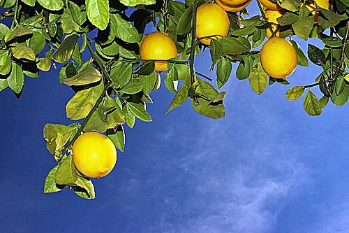One of the most familiar citrus fruits of all is the lemon.