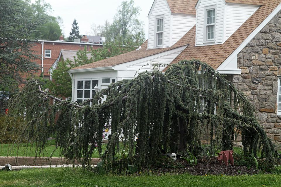 Weeping Blue Atlas Cedar Tree