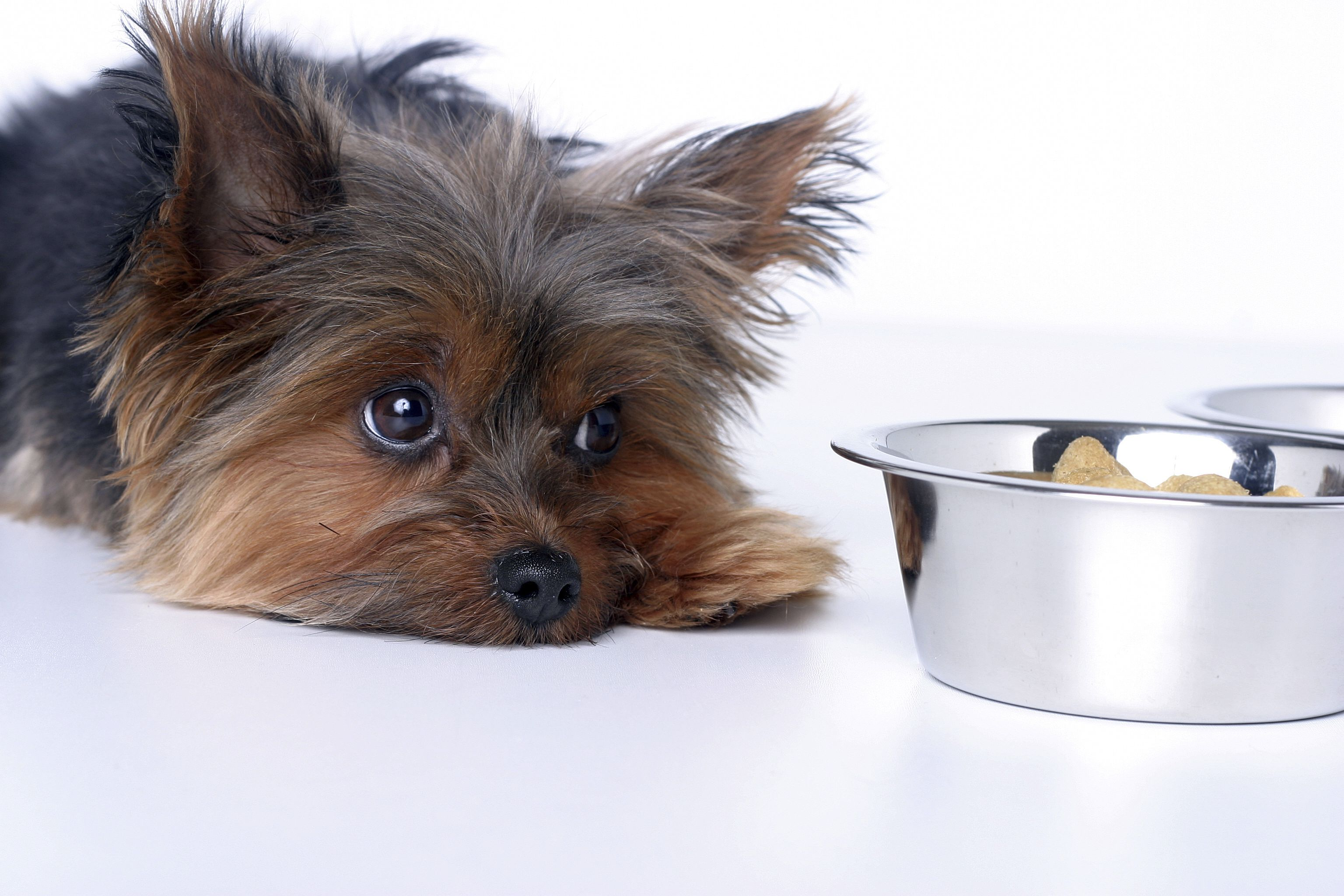 Liver Disease in Dogs Symptoms and Treatment Information