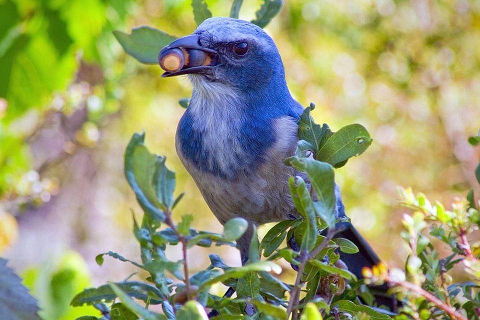 Florida Scrub-Jay With Acorns