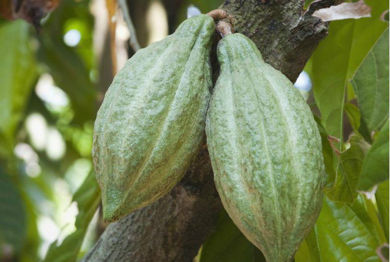 Close-up of cocoa pods on tree, Kochi, Kerala, India