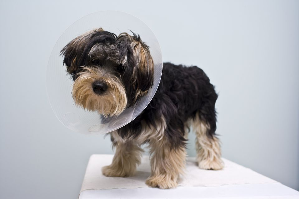 Dog with a pet cone