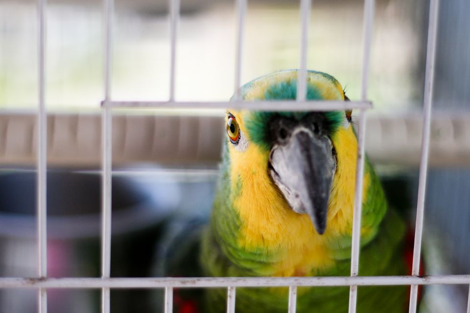 Amazon Parrot in Cage