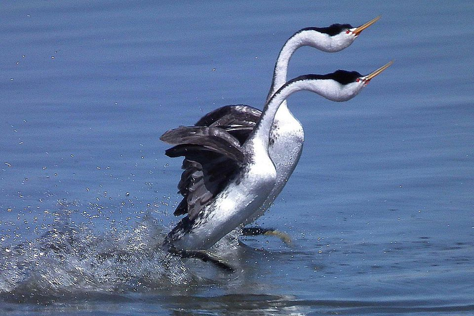Clark's Grebe Pair Mating Dance