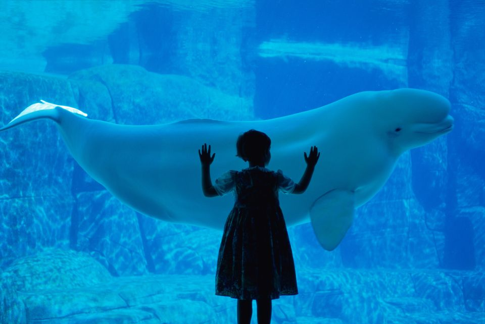 Girl watches Beluga whale at the Vancouver Aquarium