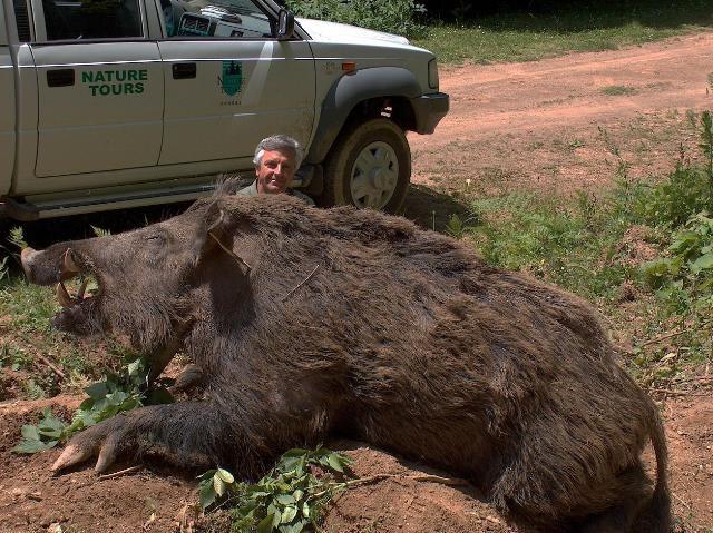 man with 1800 lb wild boar