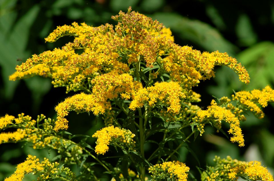 Goldenrod (image) is not only breathtaking when in bloom but also not a health hazard.