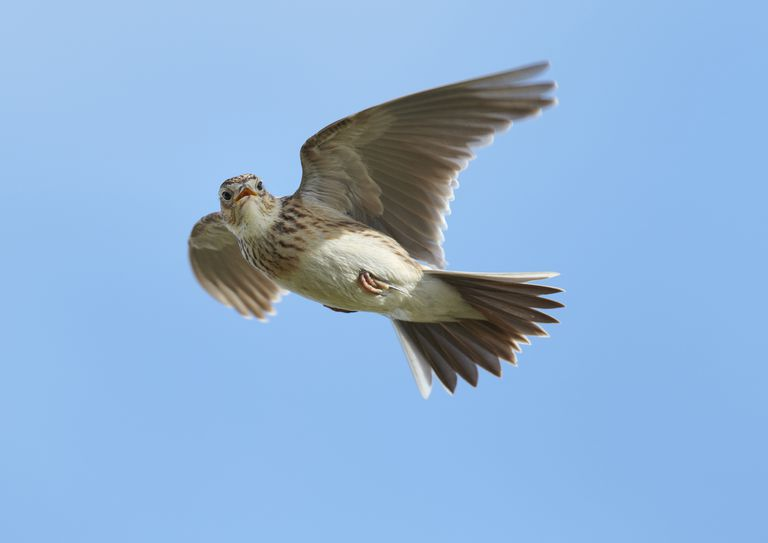 Male Skylark (Alauda arvensis) in flight, singing, Denmark Farm, Lampeter, Ceredigion, Wales, UK,