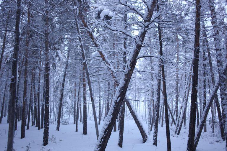 Snow coated trees in Siberia