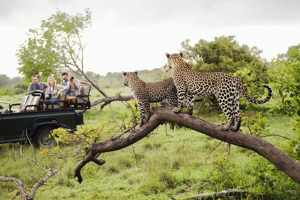 Leopards on Safari