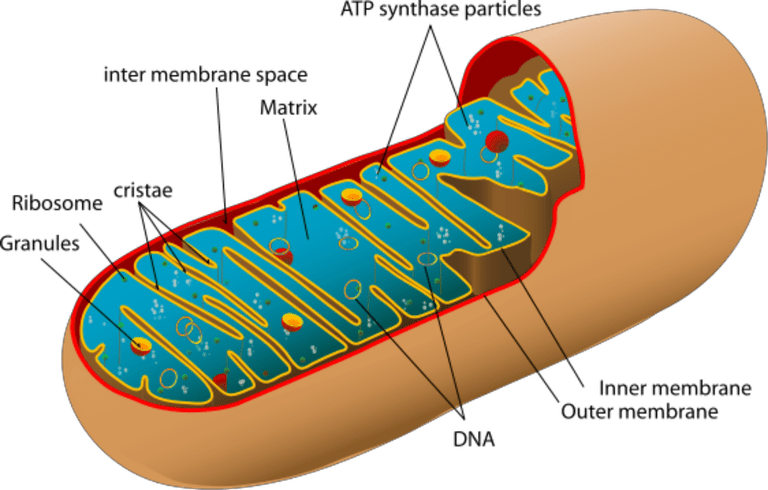 Animal Mitochondrion