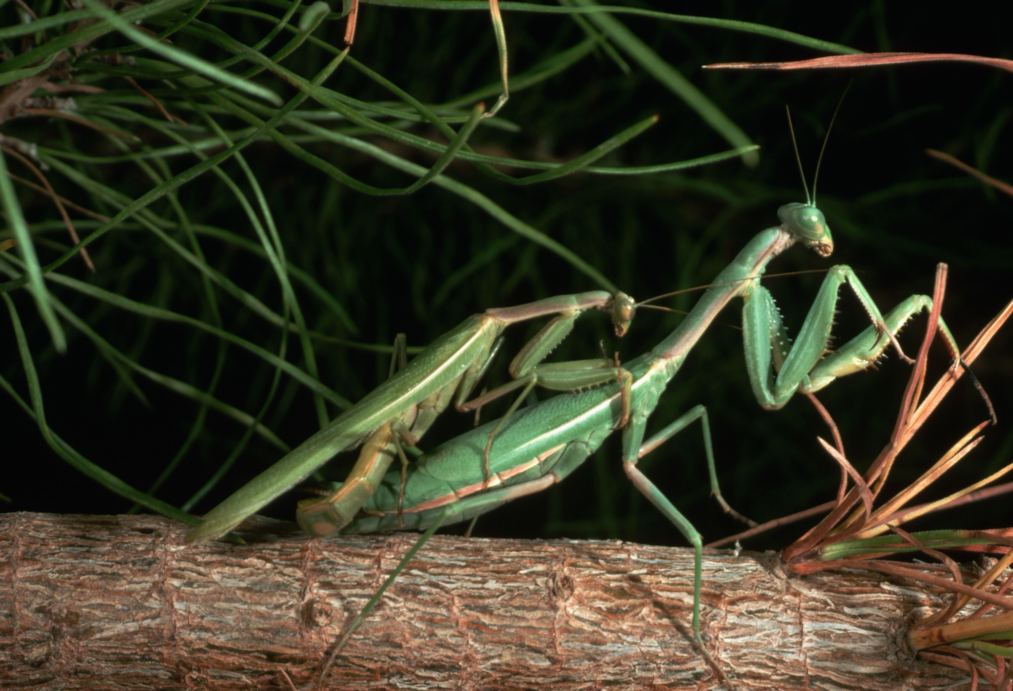 Praying Mantis Sex and Cannibalism