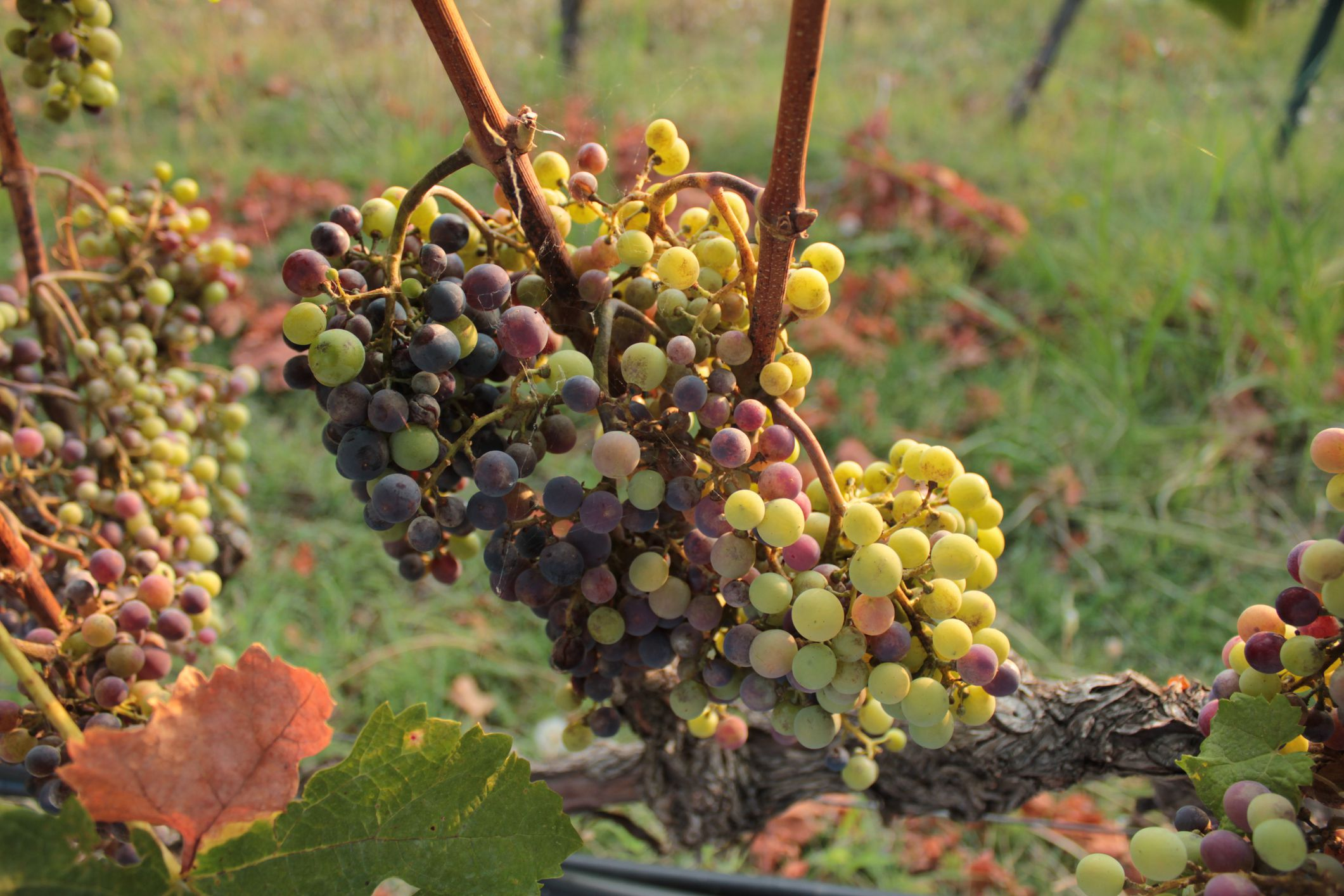 Make Your Own Grape Must For Greek Recipes