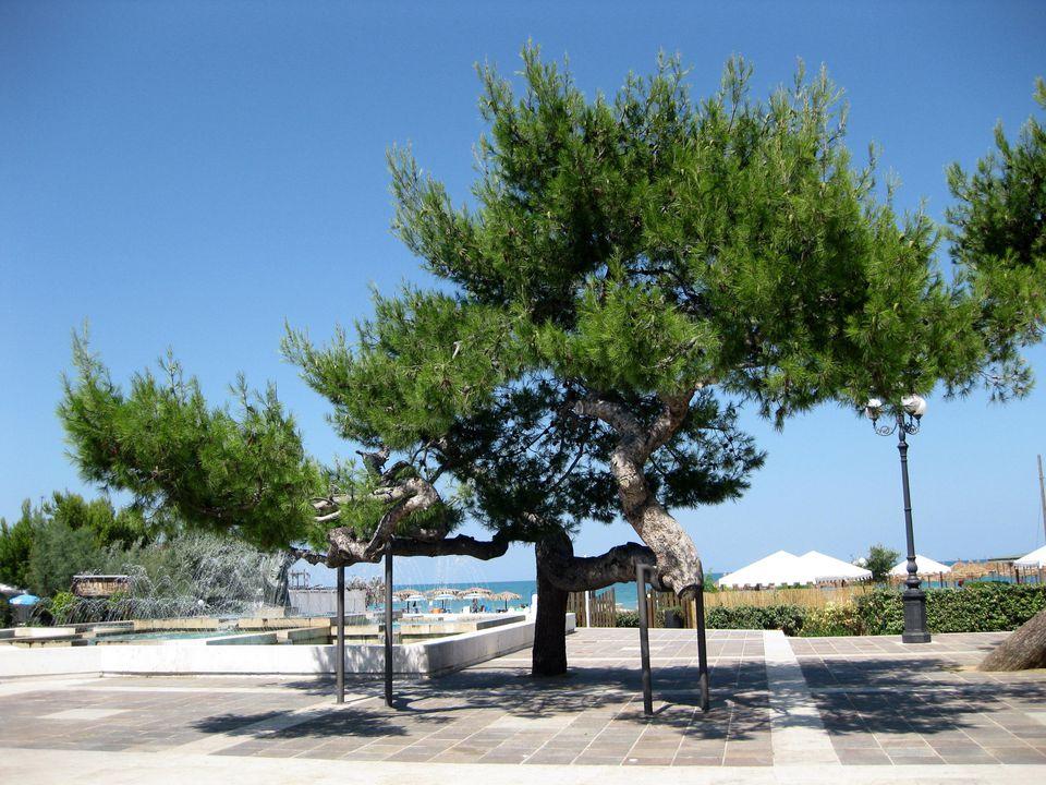 Pino d'Aleppo 2 (Pinus halepensis)