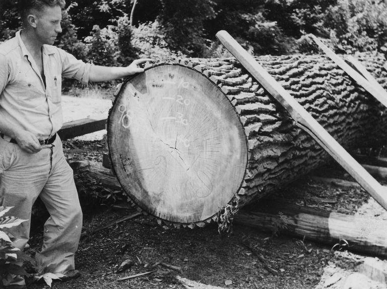 man admiring large cottonwood log