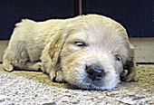 Sleeping Puppy by Richard Stowey on Flickr