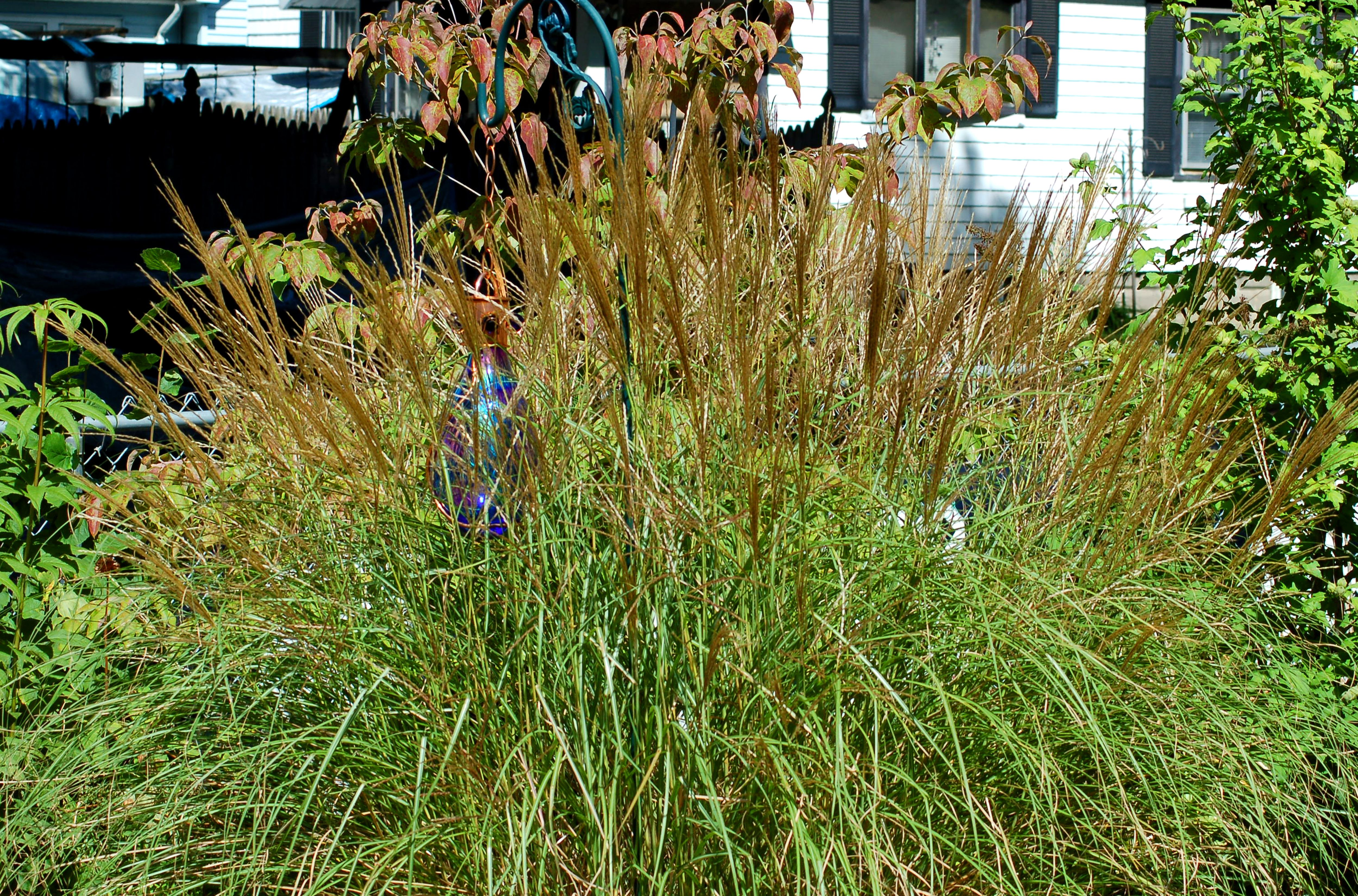 Ornamental grass a low maintenance alternative for Low ornamental grasses