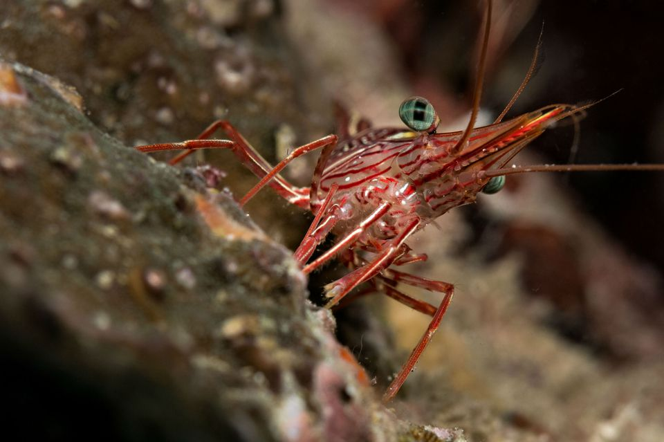 Cleaning shrimp