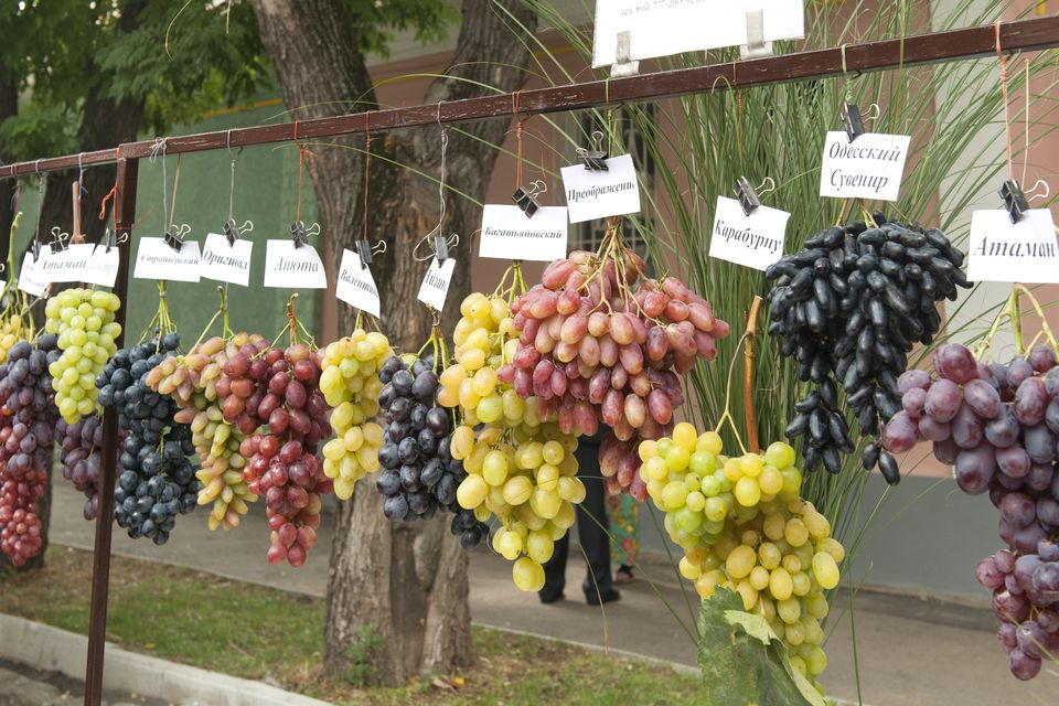 Many Types of Grapes