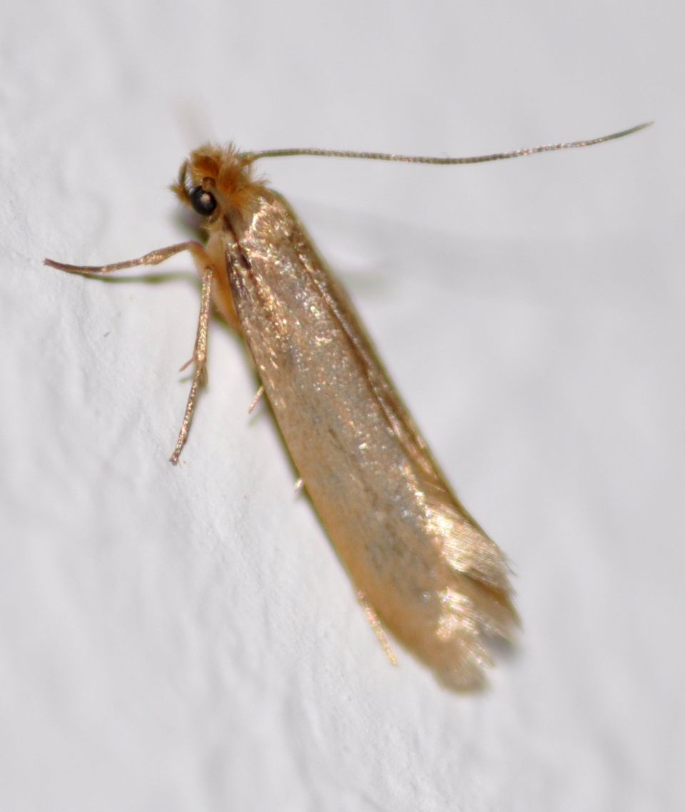 Identify and control webbing clothes moths for Pantry moths