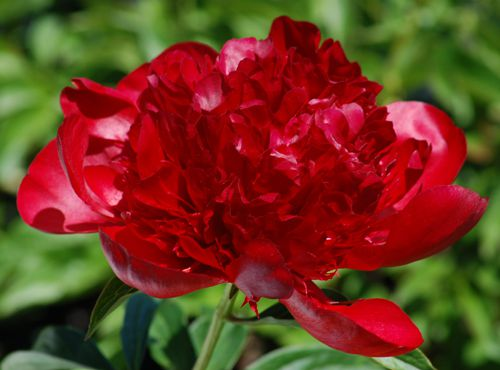Picture of peony flower. As this peony flower photo shows, some of these perennials are burgundy.