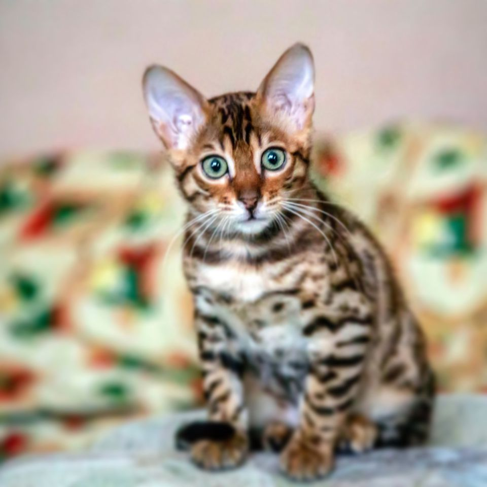 Best Breed Of Cat For Family