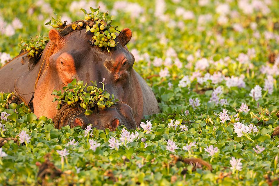 Hippo covered in plants in waterhole, Mana Pools National Park Zimbabwe, Africa