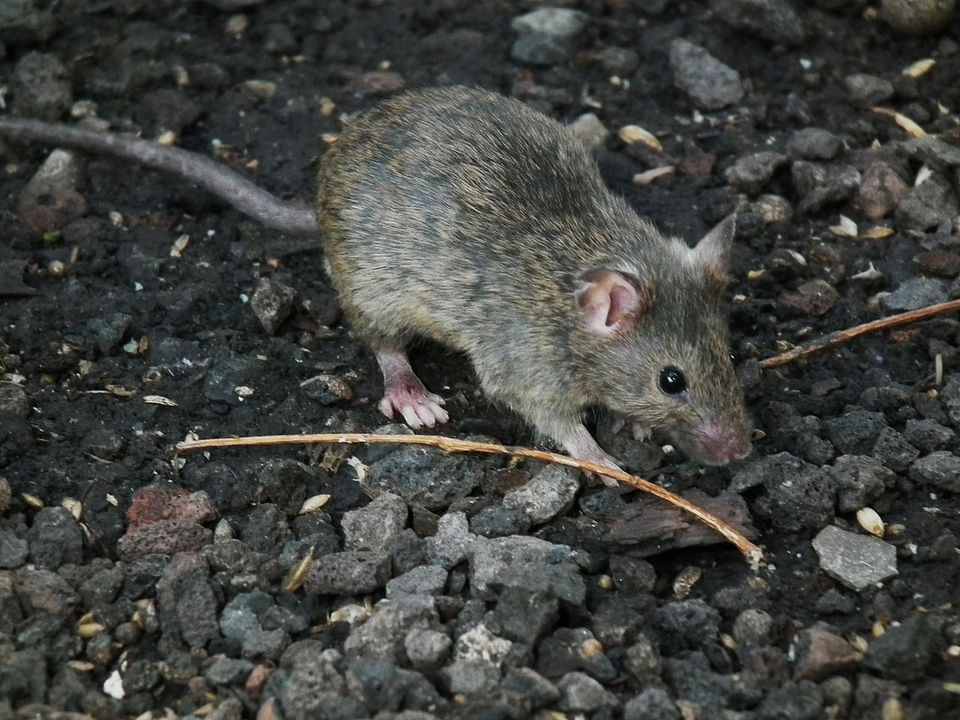 The House Mouse