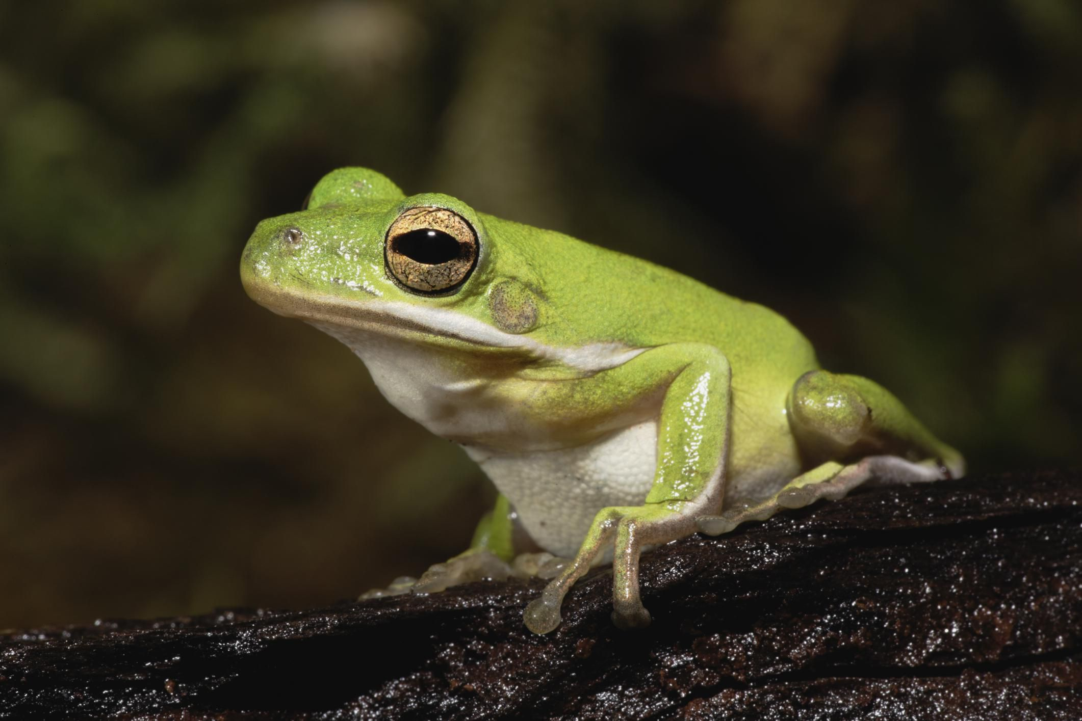 care and feeding of pet american green tree frogs