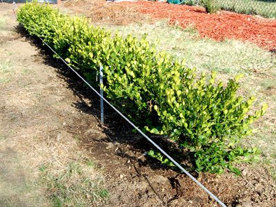 boxwood leaves photo how to for planting boxwood hedges