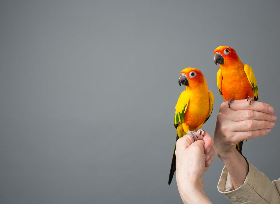 Two Sun Parakeets on Perched on Woman's Hands