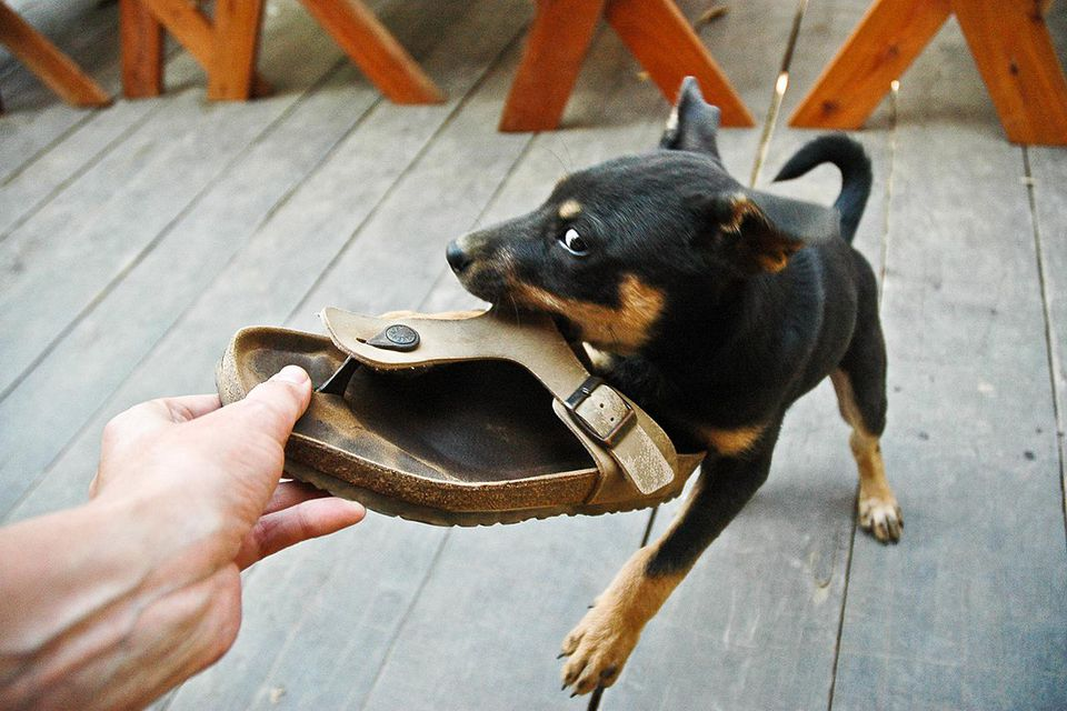 Cheeky snarling young pet dog chews his owner's shoe as they play together on wooden balcony of their family home.