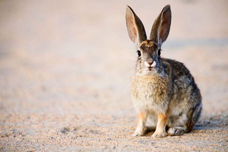 Hares, rabbits and pikas - Lagomorpha