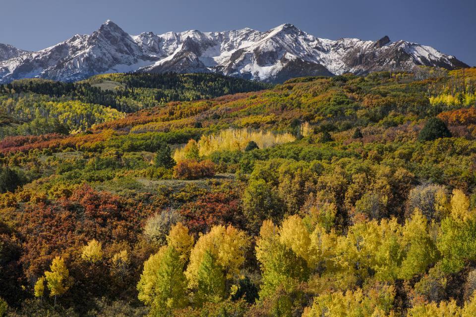 Autumn aspen trees (Populus Tremuloides) and Sneffels Range, Mount Sneffels Wilderness, Uncompahgre National Forest, Colorado, USA