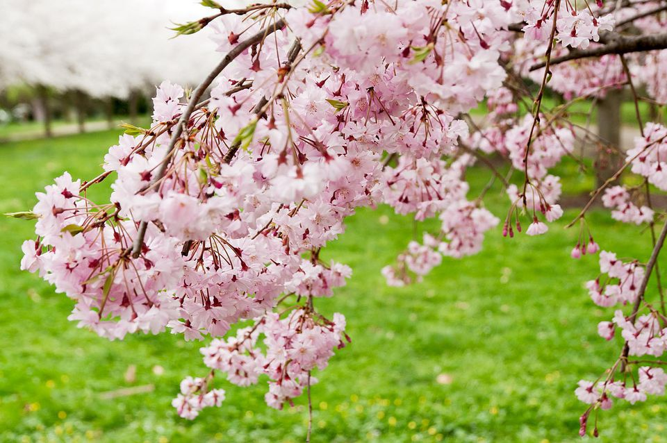 Image of cherry tree in bloom.