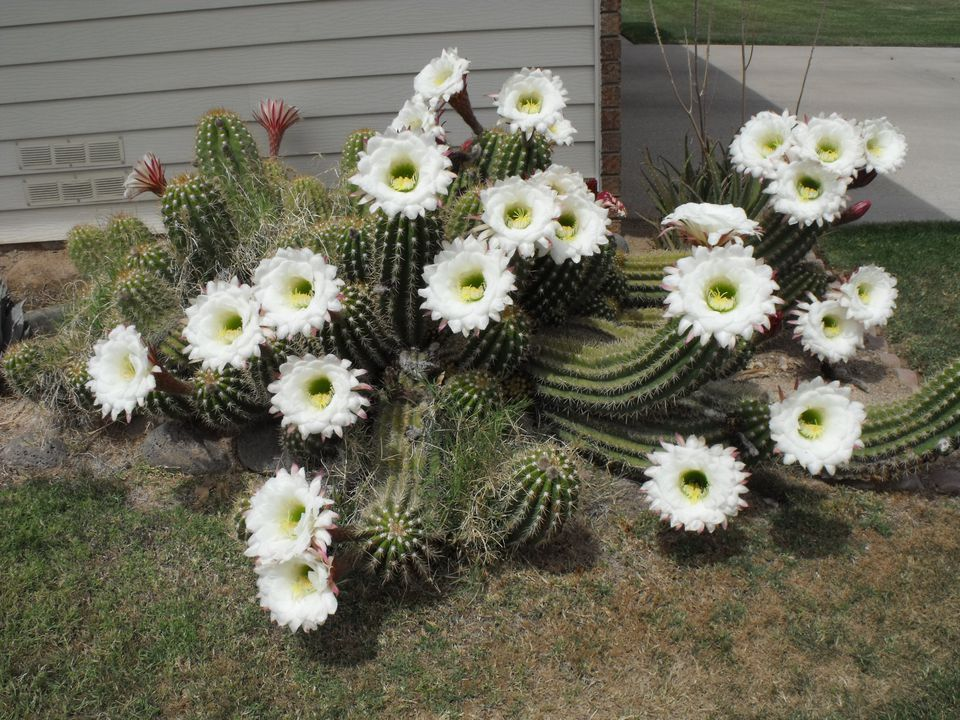 Cactus and cactus flowers photos from phoenix arizona for Cactus argentina