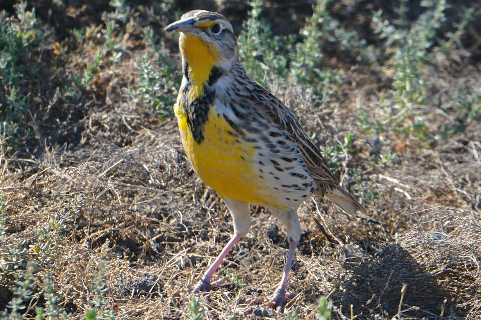 Western meadowlark eggs