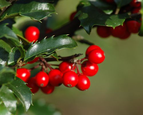 Photo of evergreen holly with berries.