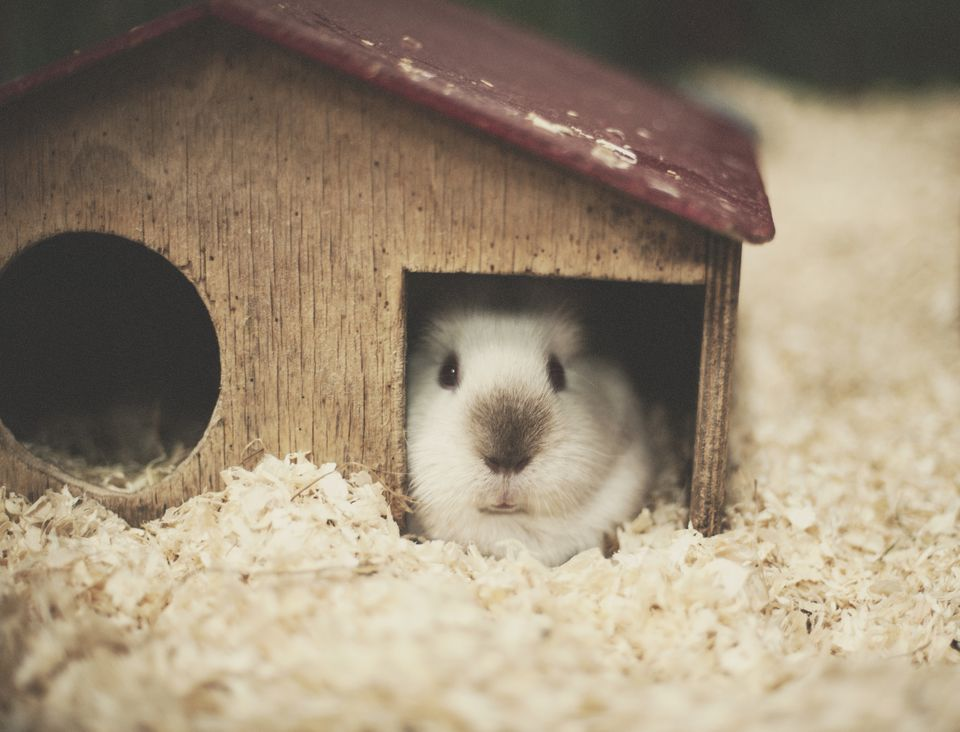 One product all guinea pigs must have guinea pig sciox Image collections