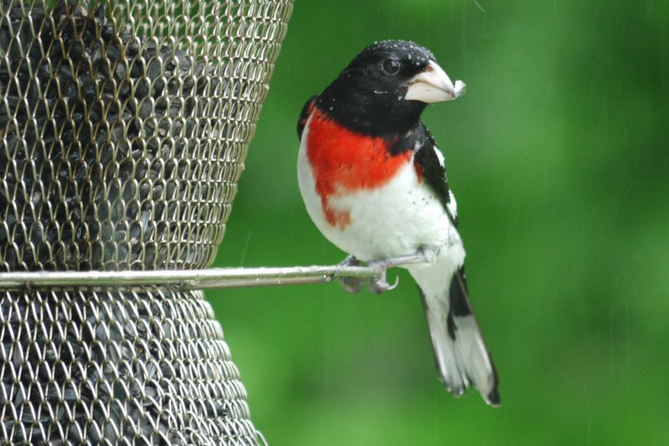 Rose-Breasted Grosbeak at a Feeder